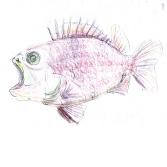 biog small soldier fish